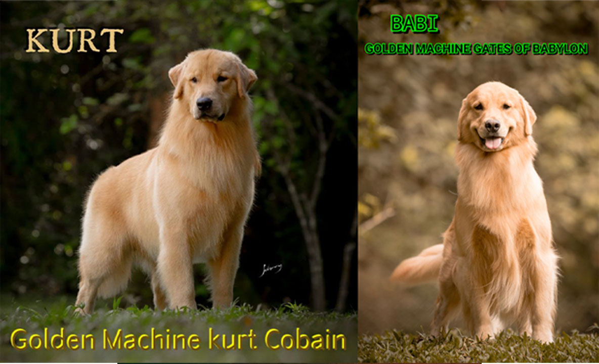 Filhotes Golden Retriever Kurt e Babi